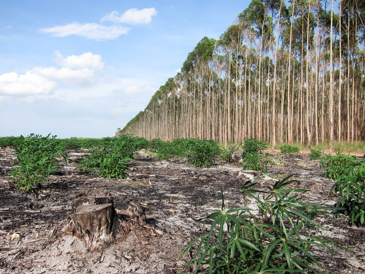 plantações de eucalipto