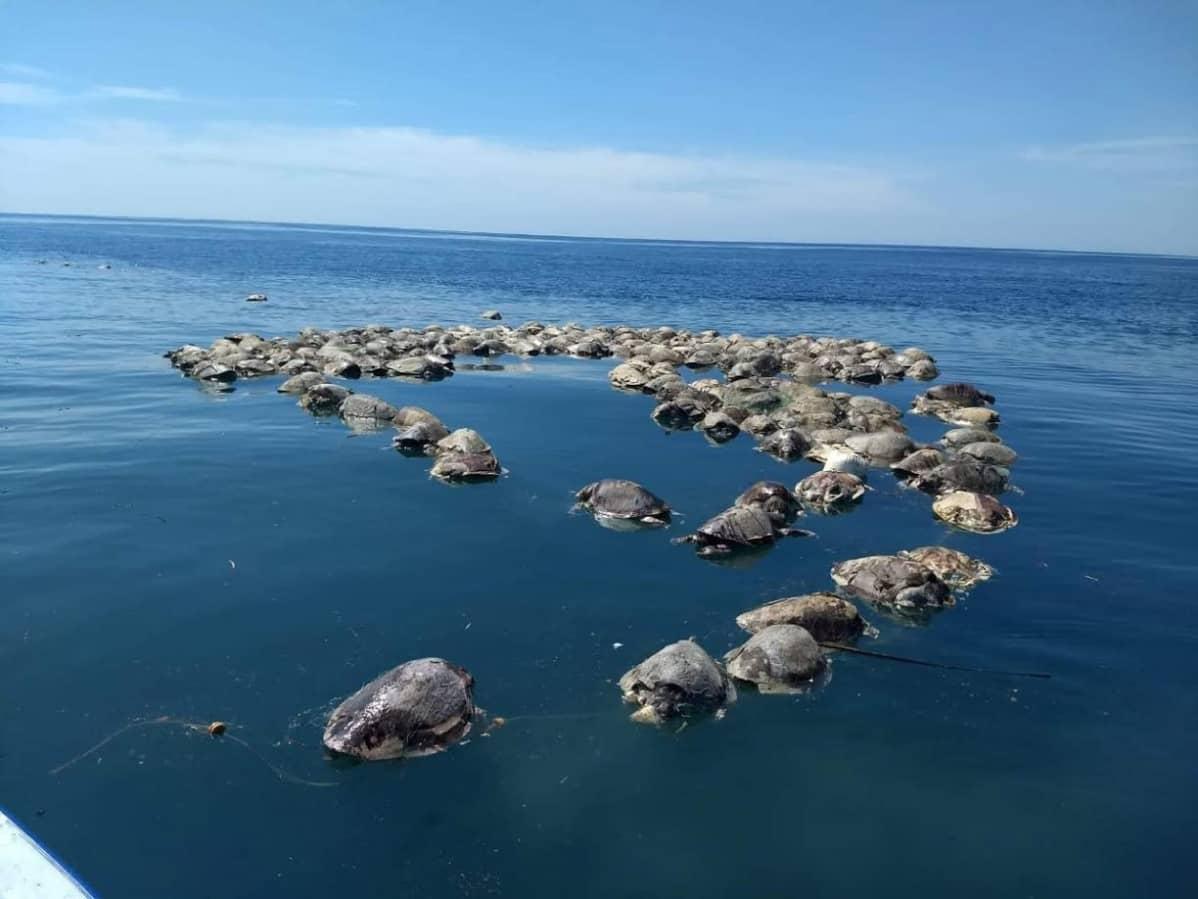 Puerto Escondidon rantavesistä löytyi noin 300 kuollutta merikilpikonnaa 28. elokuuta 2018.