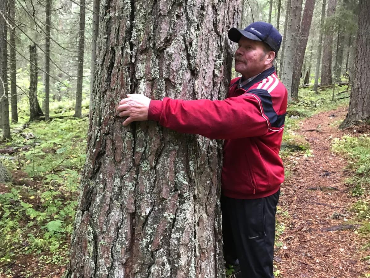 Mies halaa isoa puuta