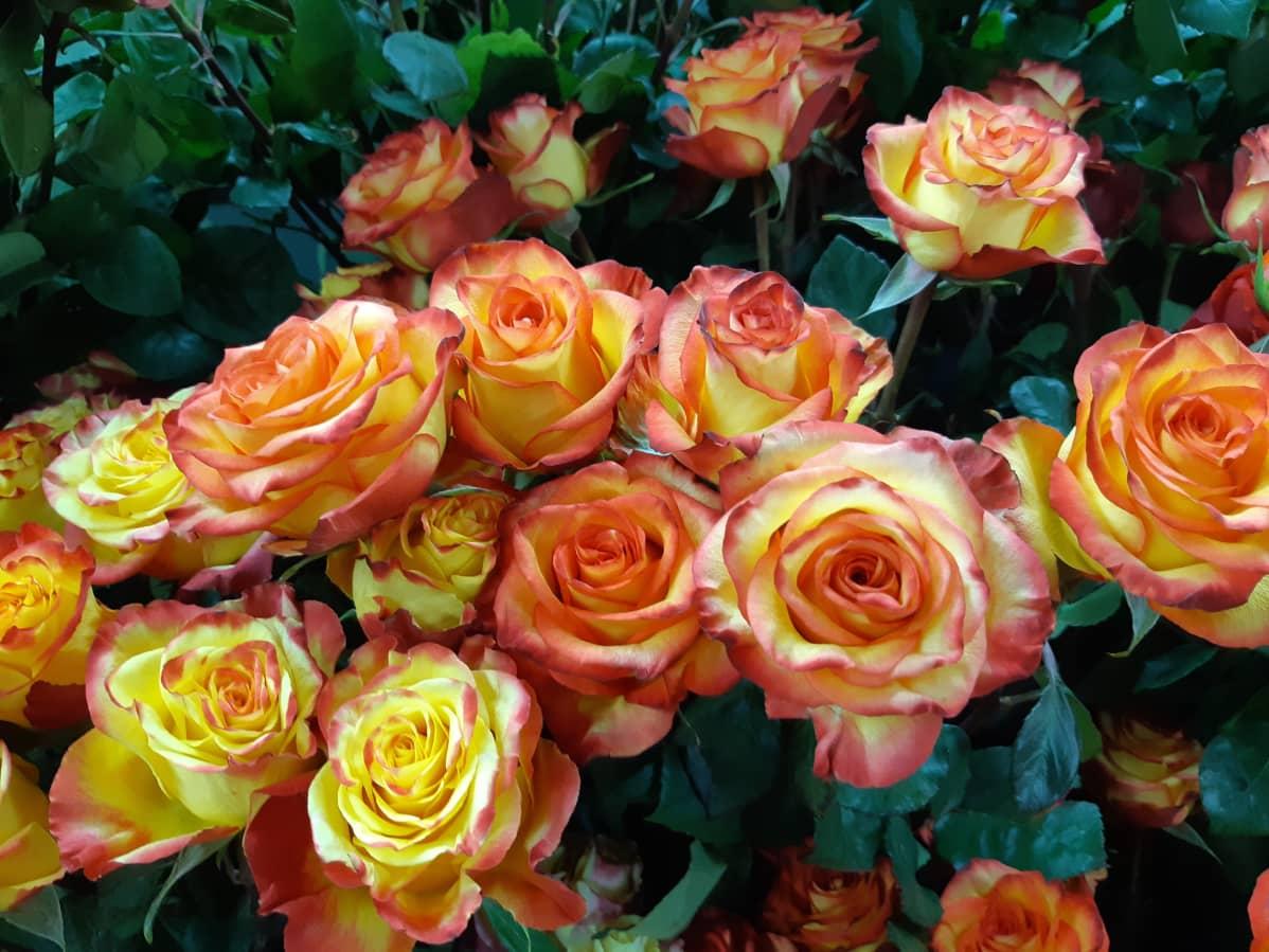 Keltapunaisia ruusuja isossa kimpussa