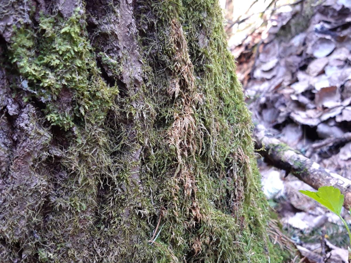 Liito-oravan löysää ulostetta puun rungolla.