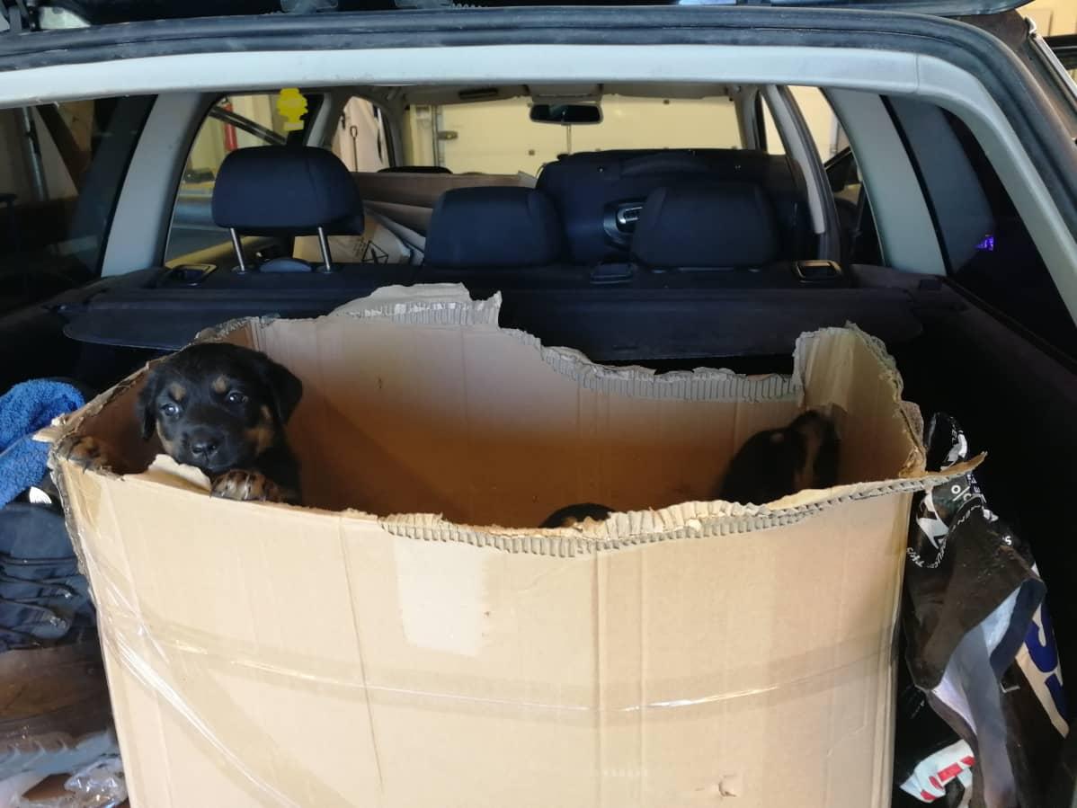 Auton peräkontin pahvilaatikkoon tungetut koiranpennut jouduttiin lopettamaan, koska niitä maahantuovalla miehellä ei ollut esittää minkäänlaisia dokumentteja koirien alkuperästä, rokotuksista tai terveydentilasta. Pennuilla ei ollut myöskään tunnistesiruja.