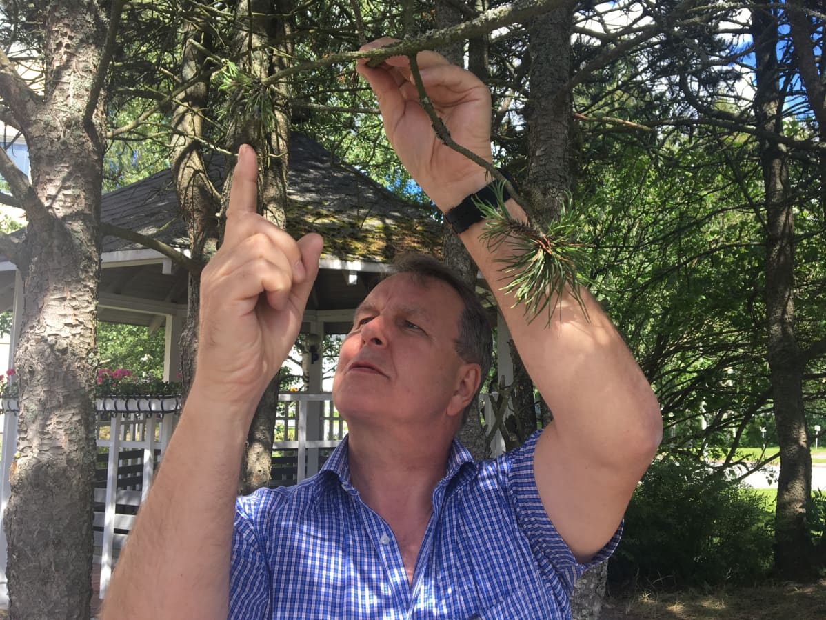 Ruskomäntypistiäisen toukkia voi löytää jopa kotipihan männyistä tai koristemännyistä, sanoo johtava asiantuntija Antti Pajula.