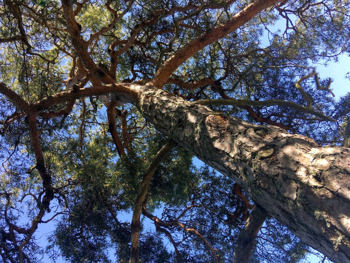 Suomen ihastuttavin puu, mänty Velkualla.