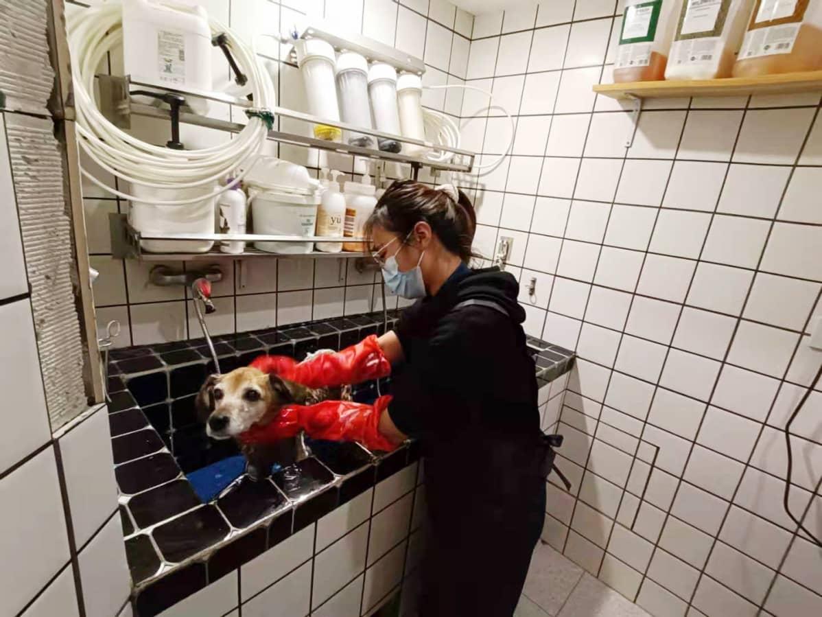 Nainen pesee koiraa.