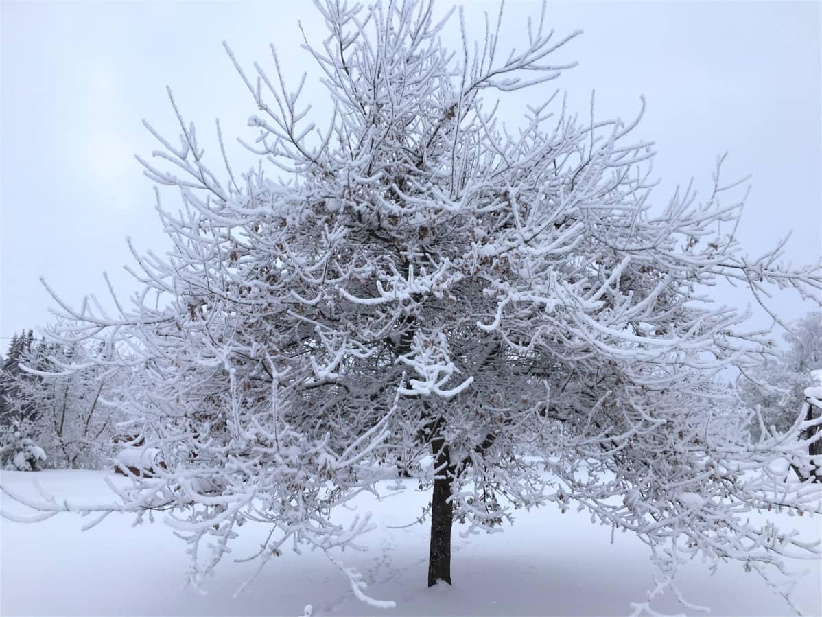 Huurre on kosteutta, jonka pakkanen on jäädyttänyt puun oksille.