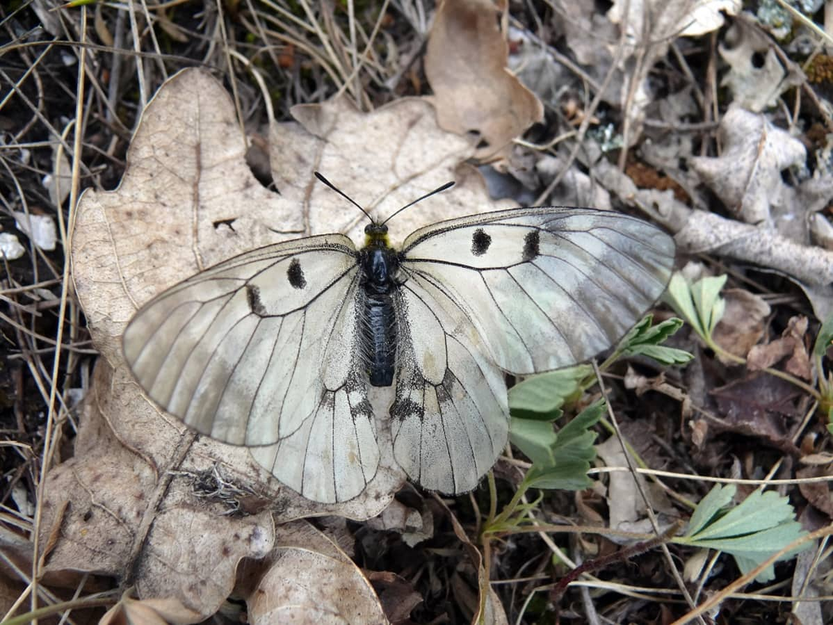 Valkoinen perhonen, jpnka siivissä on neljä tummaa pistettä, kuihtuneen lehden päällä maassa.