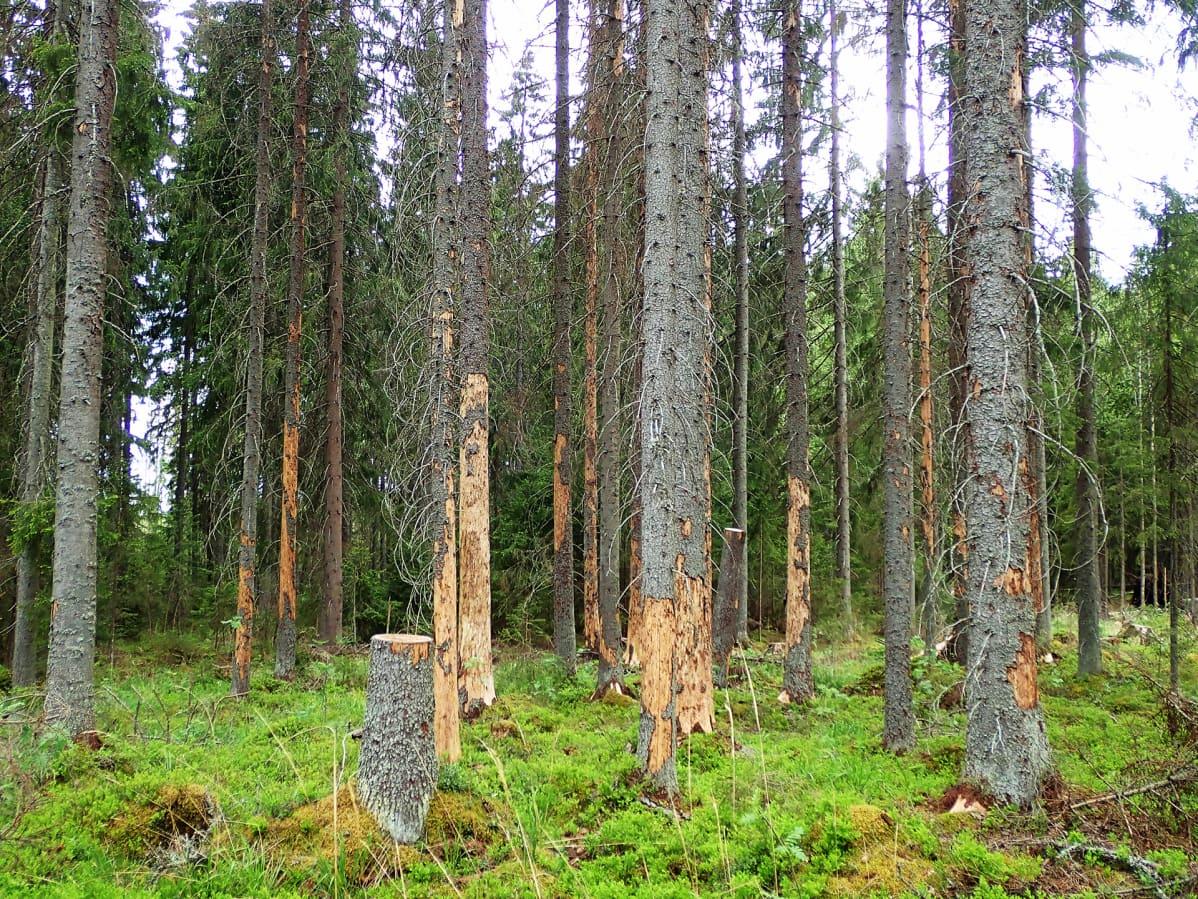 Kirjanpainajan tuhoja metsässä.