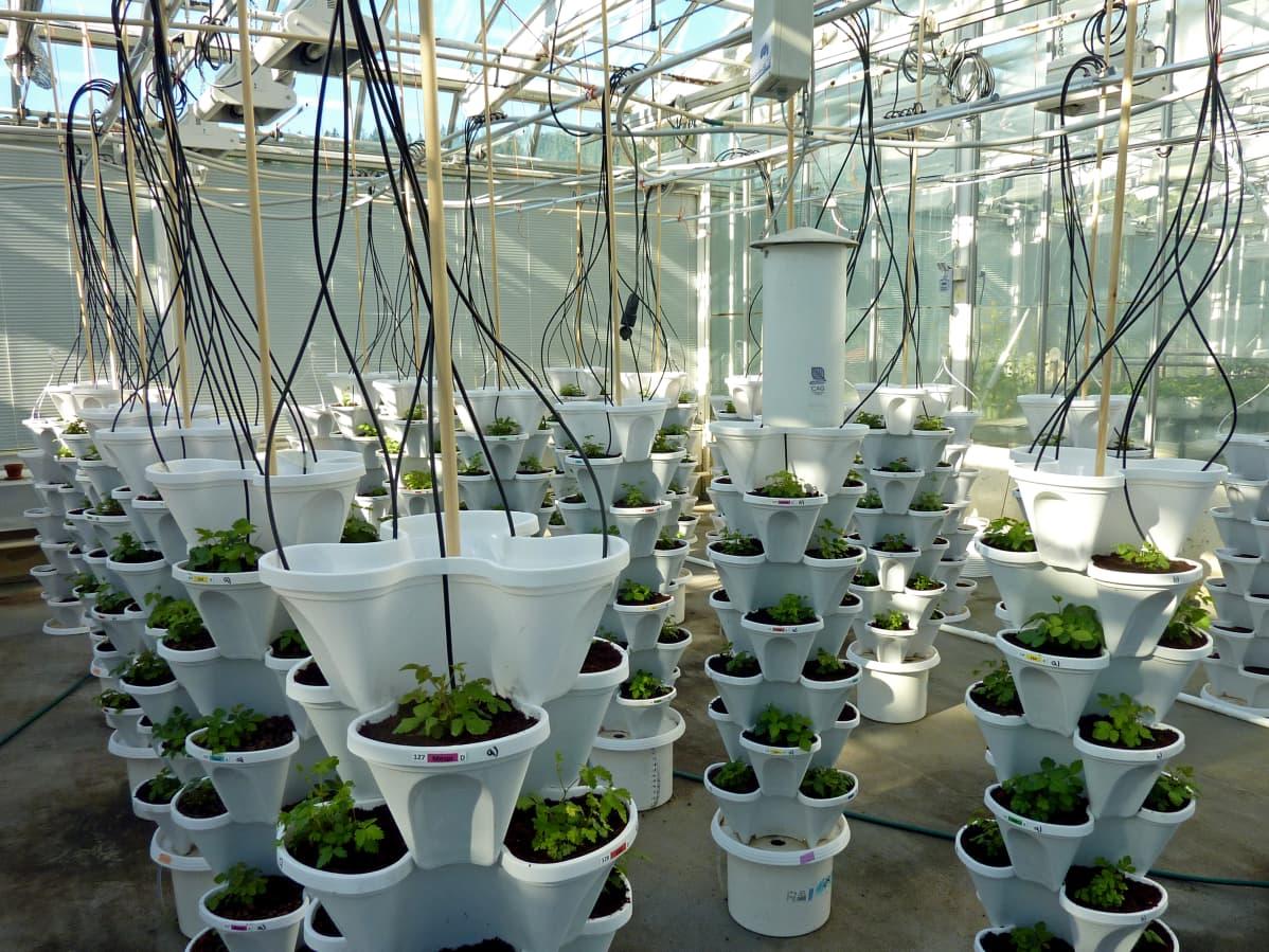 Mesimarjoja tornikasvatuksessa kasvihuoneessa.