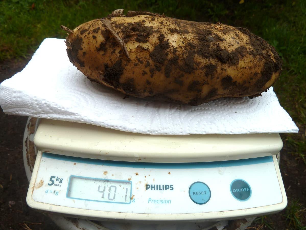 Iso peruna vaa'assa, joka näyttää 401:tä grammaa