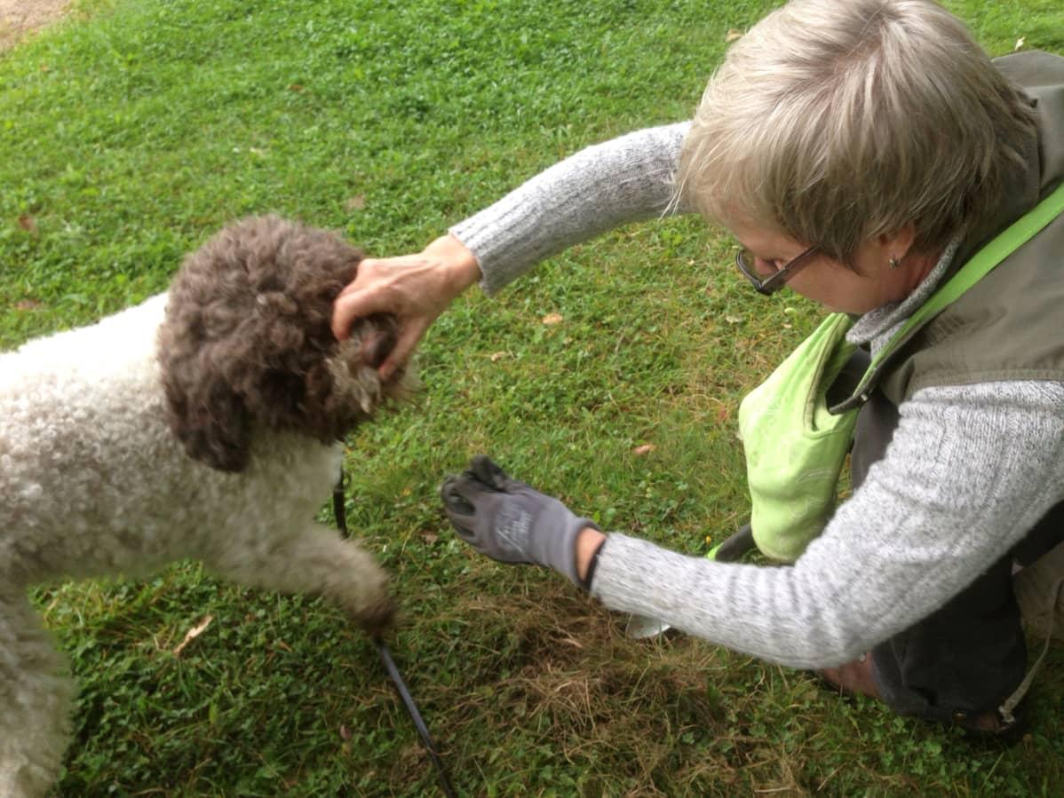Tryffelikoira Pala etsii sieniä.