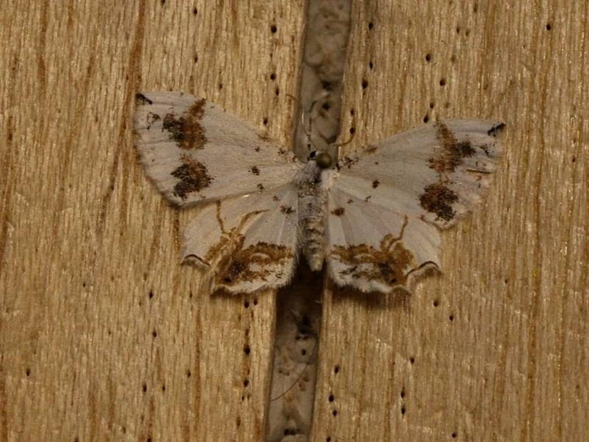 Eversmannia exornata -perhonen