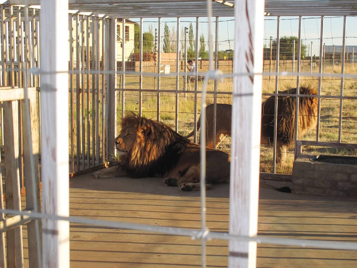 Leijonia häkissä.