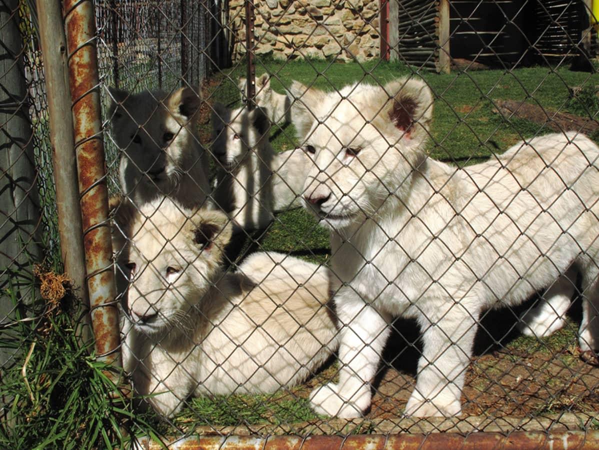 Leijonanpentuja häkissä.