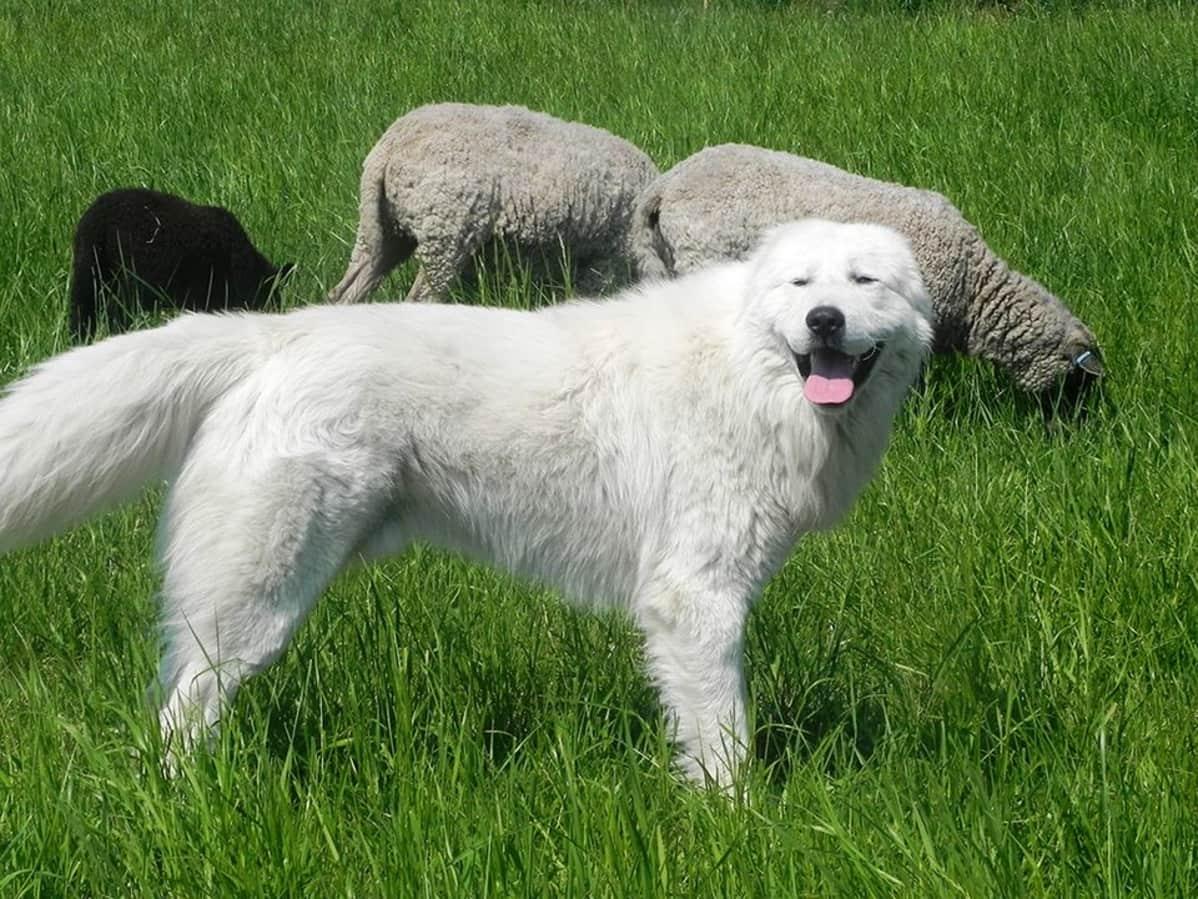 Laumanvartijakoira työssä lammastilalla Savitaipaleella