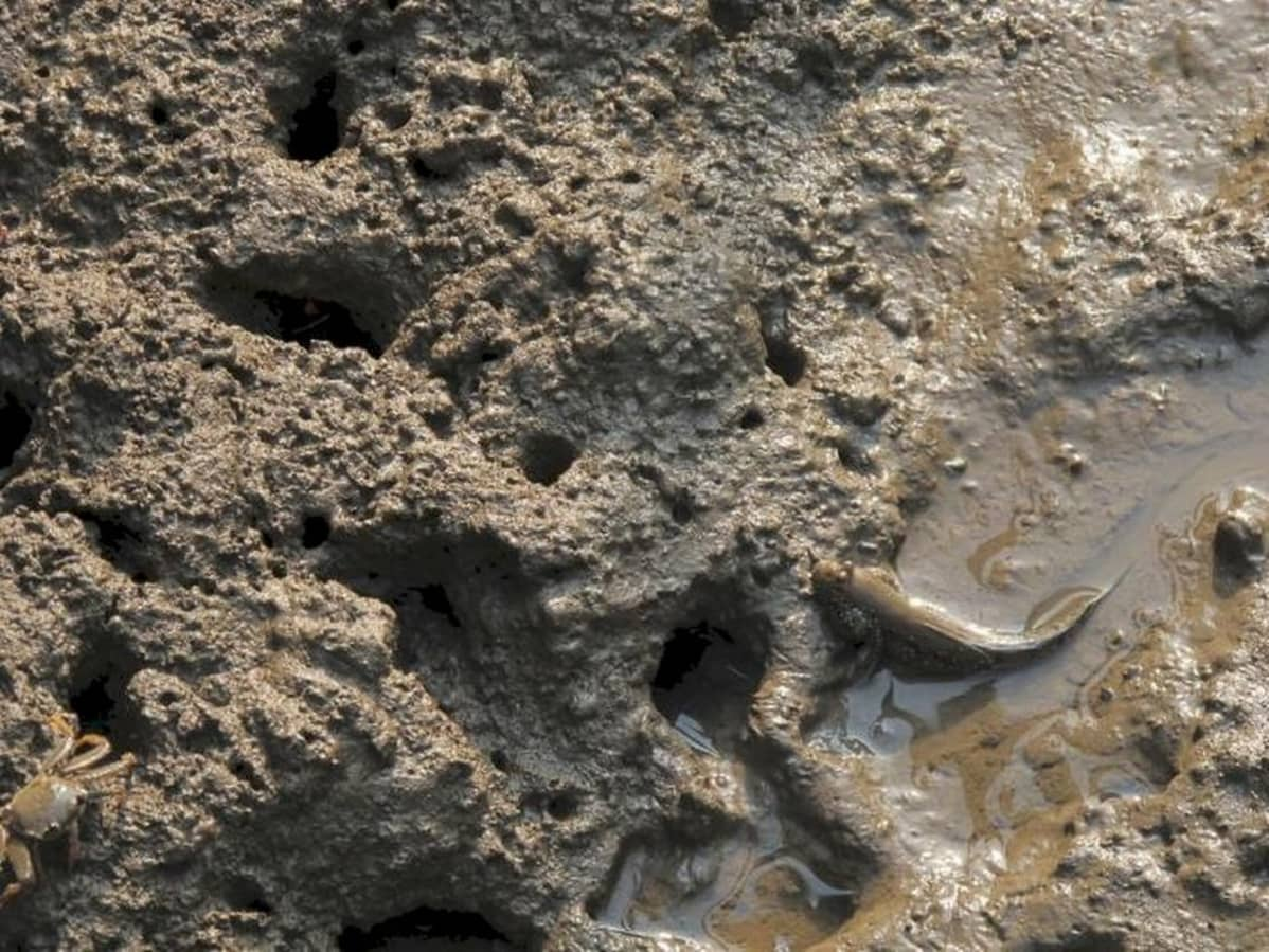 Liejuryömijä mudassa.