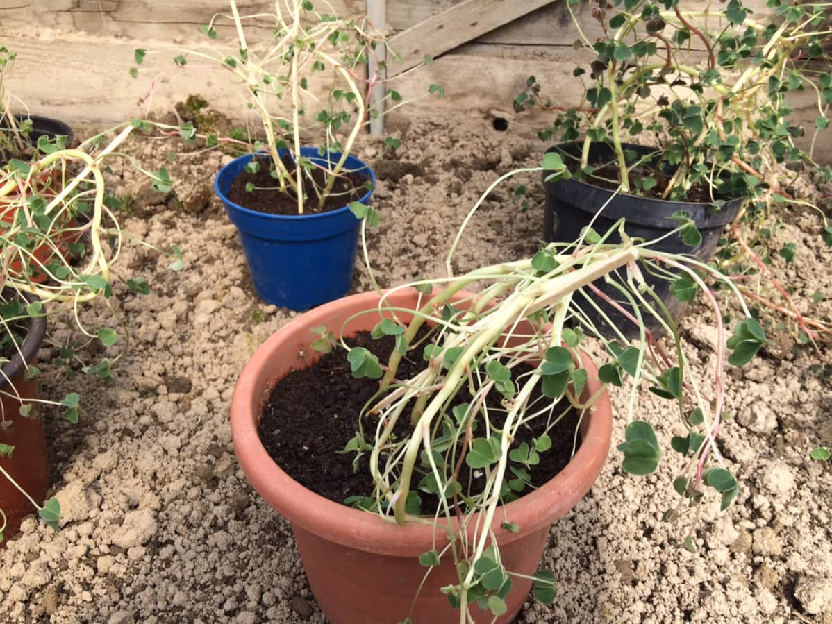 Taimia kukkapurkissa