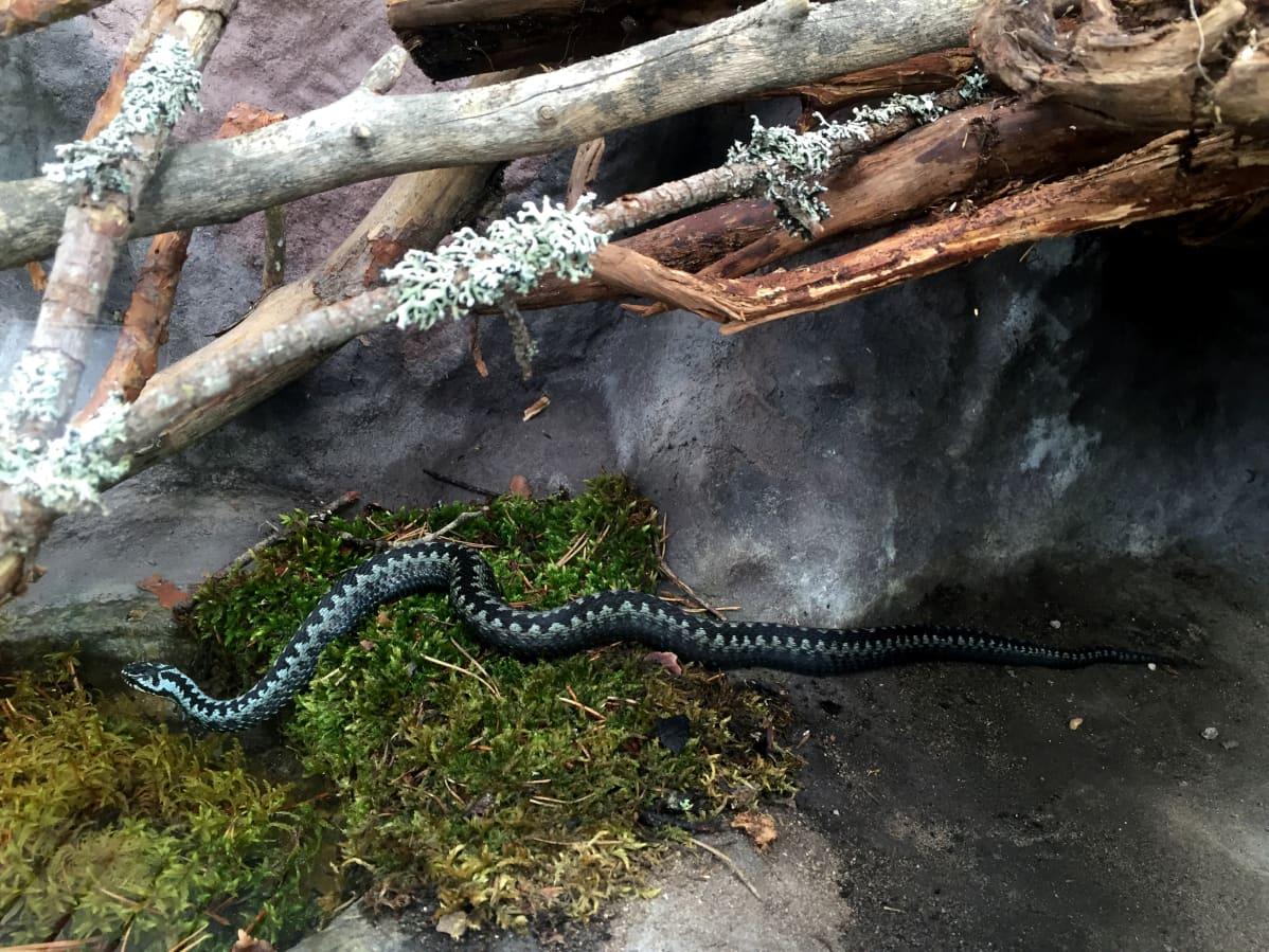 Kyykäärme koiras Ähtärin eläinpuiston terraariossa.