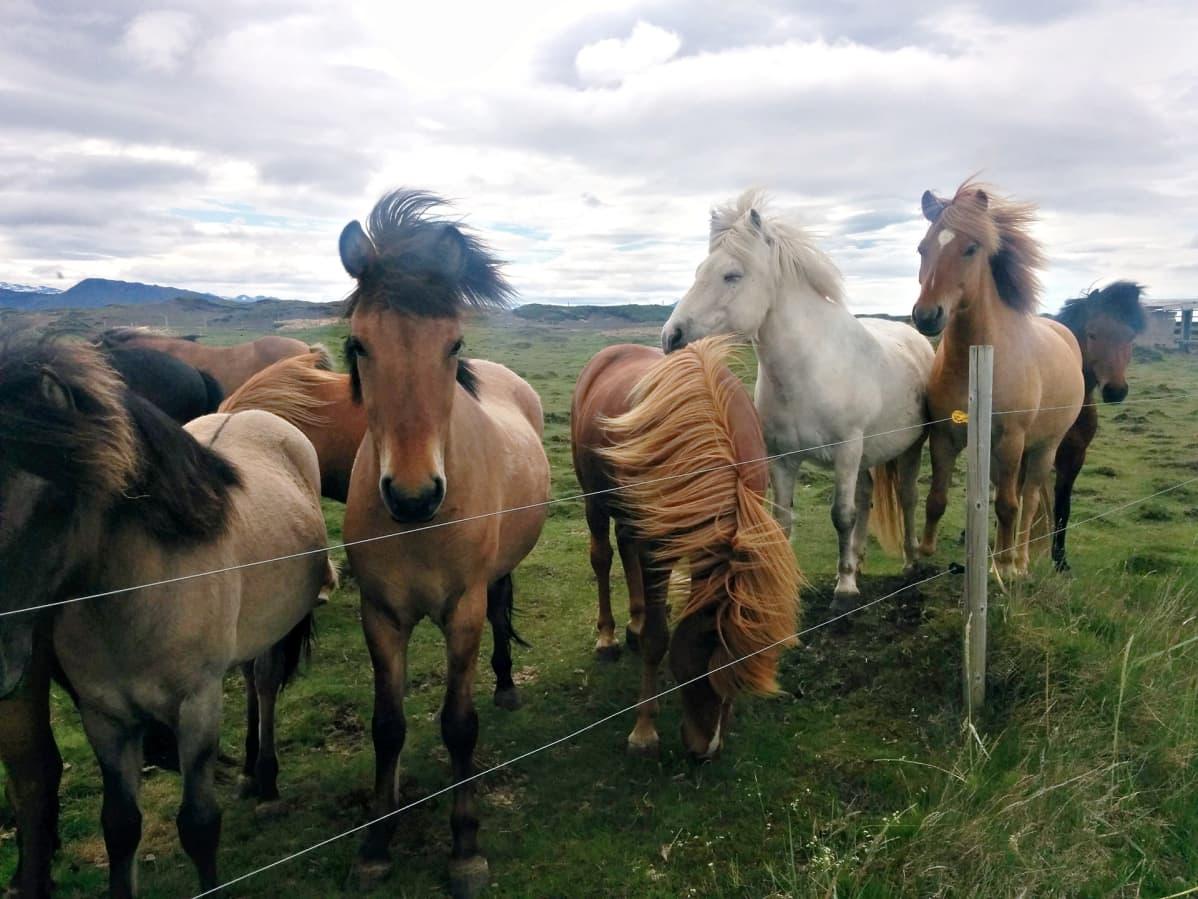 Heklan juurella islanninhevosten harja heiluu kovassa tuulessa.