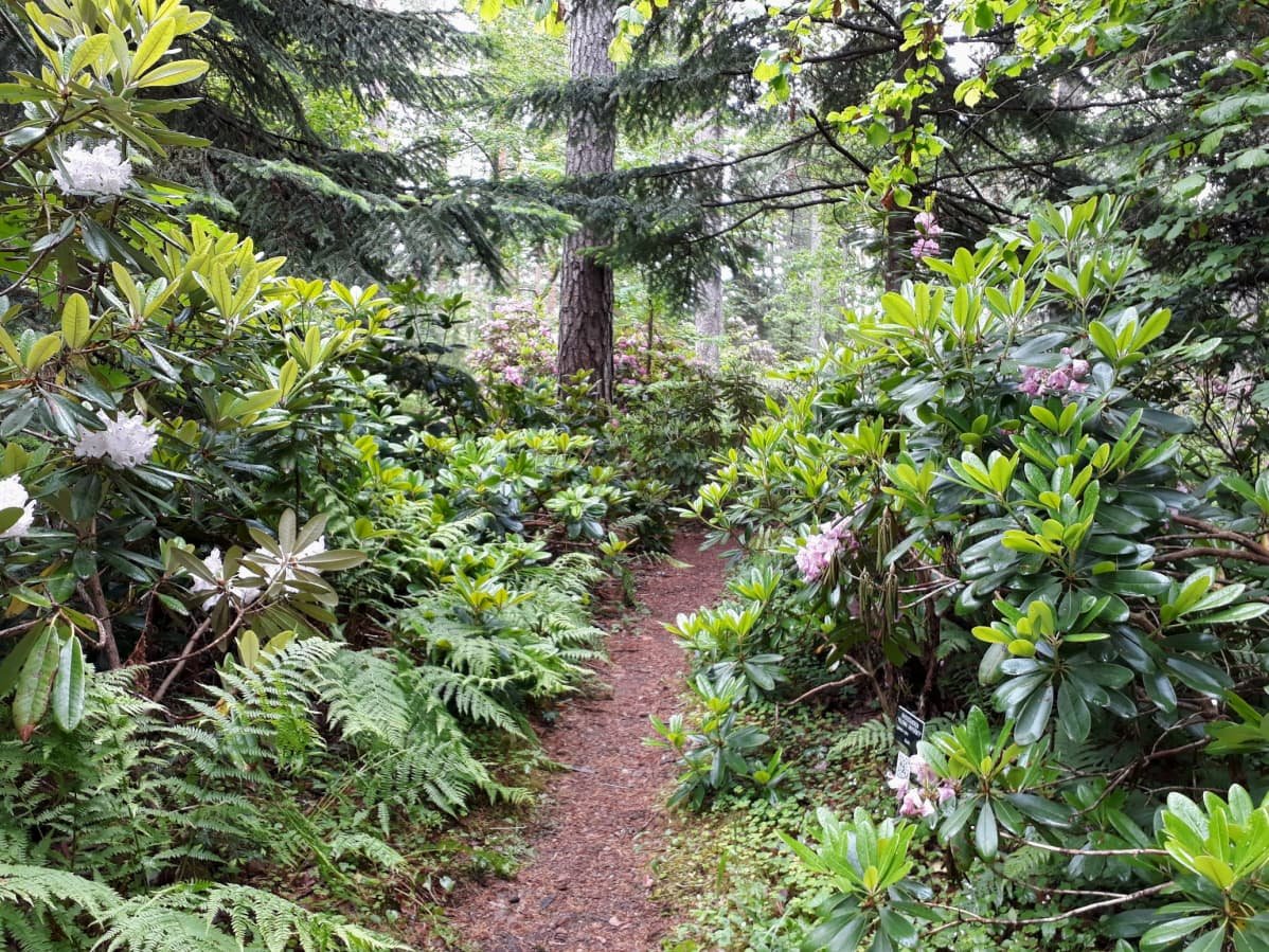 Alppiruusupensaita metsässä.