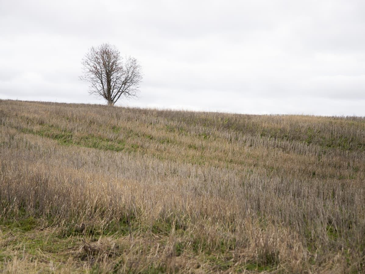 Yksinäinen puu seisoo keskellä korjattua kuminapeltoa
