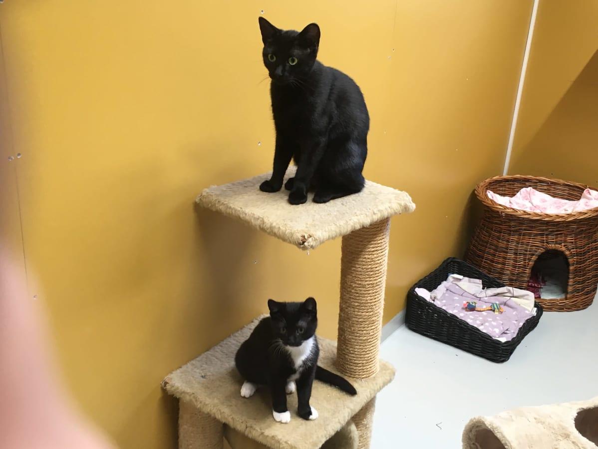 Musta kissa ja mustavalkoinen kissa kiipeilytelineessä.