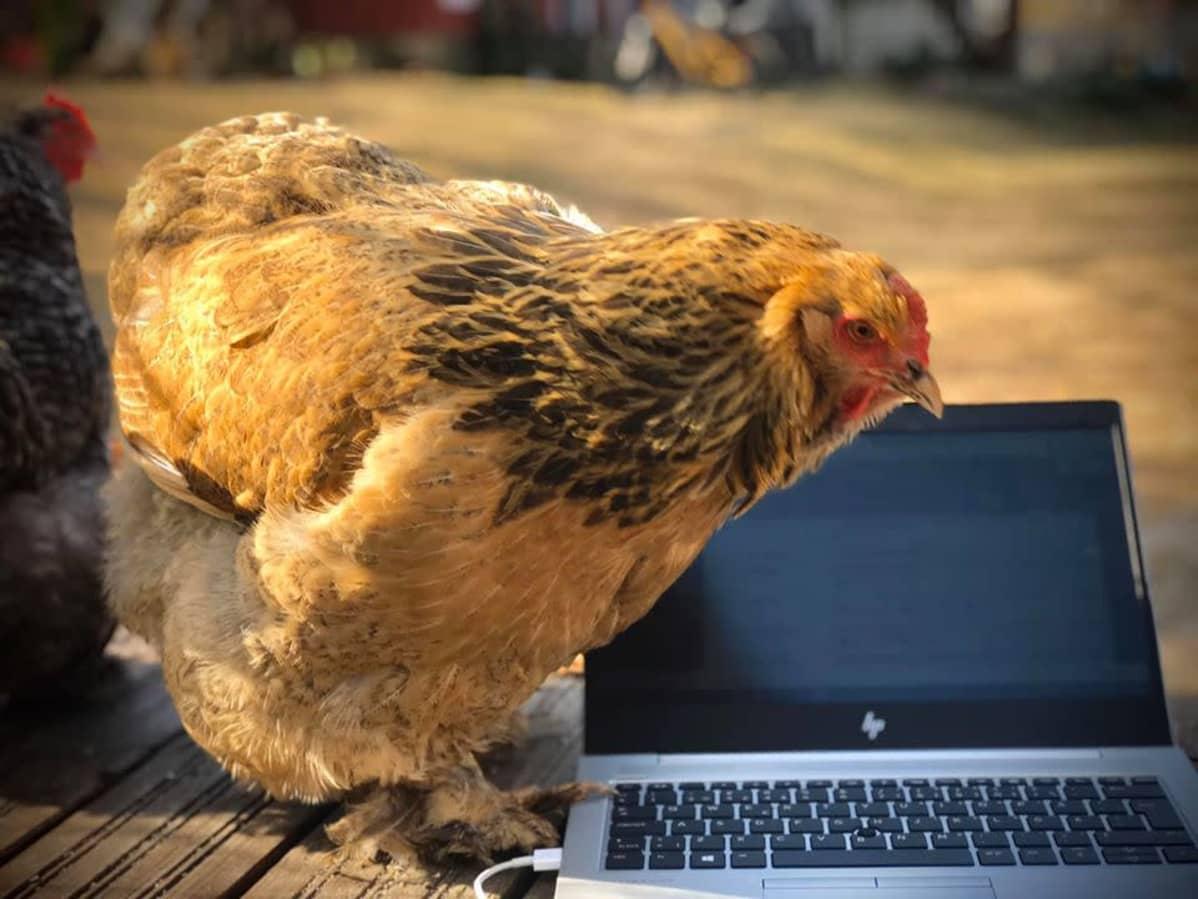 Kana ja läppäri