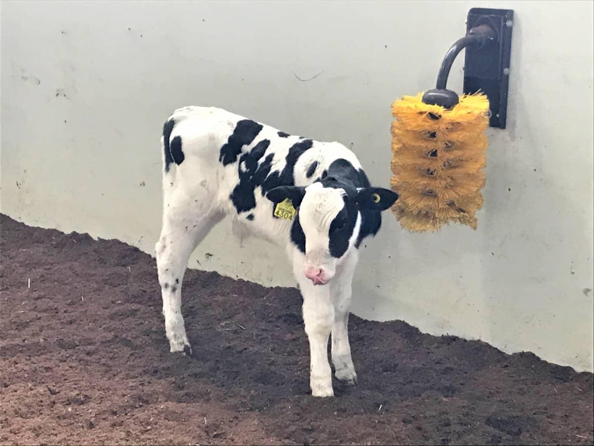 Vasikka seisoo keltaisen karjaharjan vieressä navetassa.