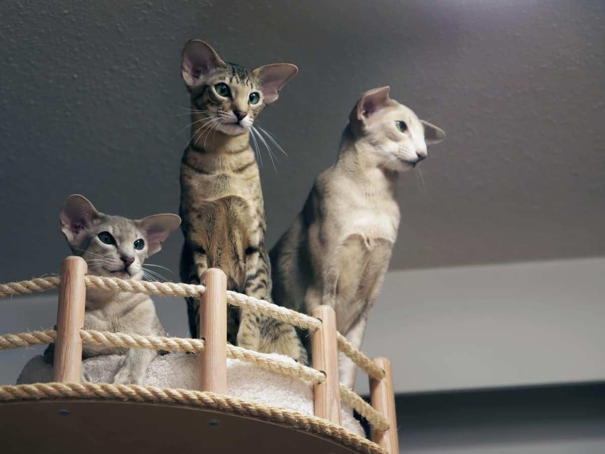 Kolme kissaa kiipeilypuussa