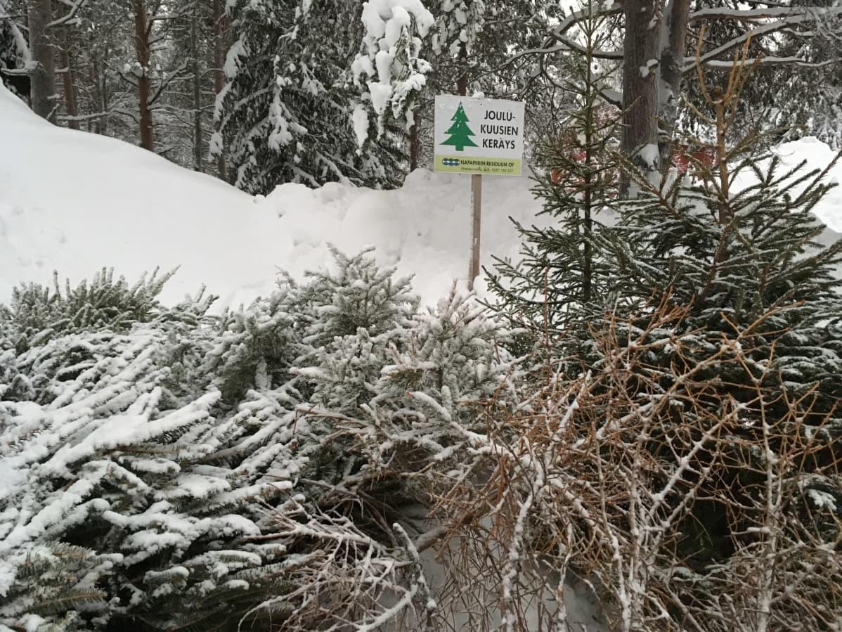 Lumisia joulukuusia pinossa ja kyltti, jossa lukee Joulukuusen keräys