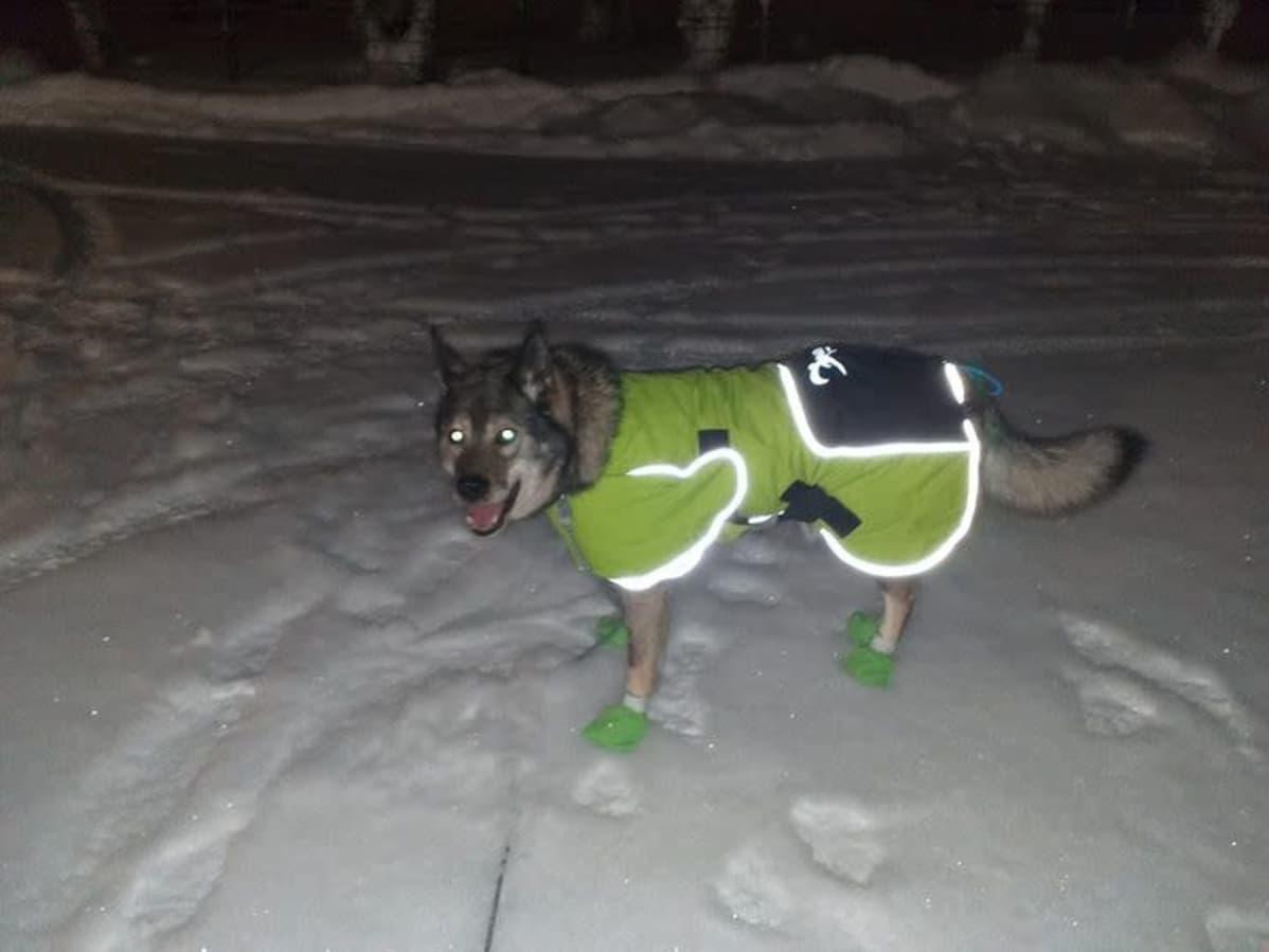 Saksanpaimenkoira keltaisessa toppaliivissä ja vihreissä tossuissa seisoo lumessa.