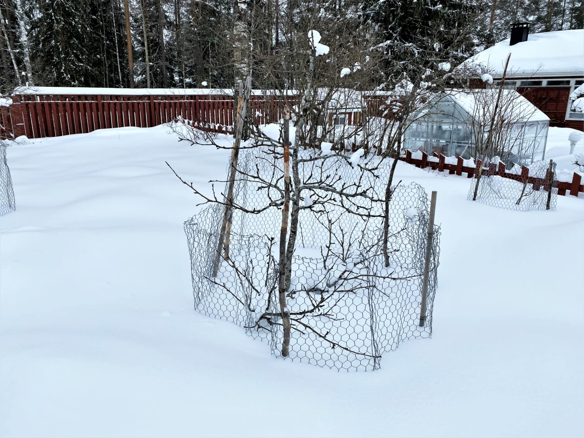 Omenapuu suojattu verkolla. Lunta puoli metriä.