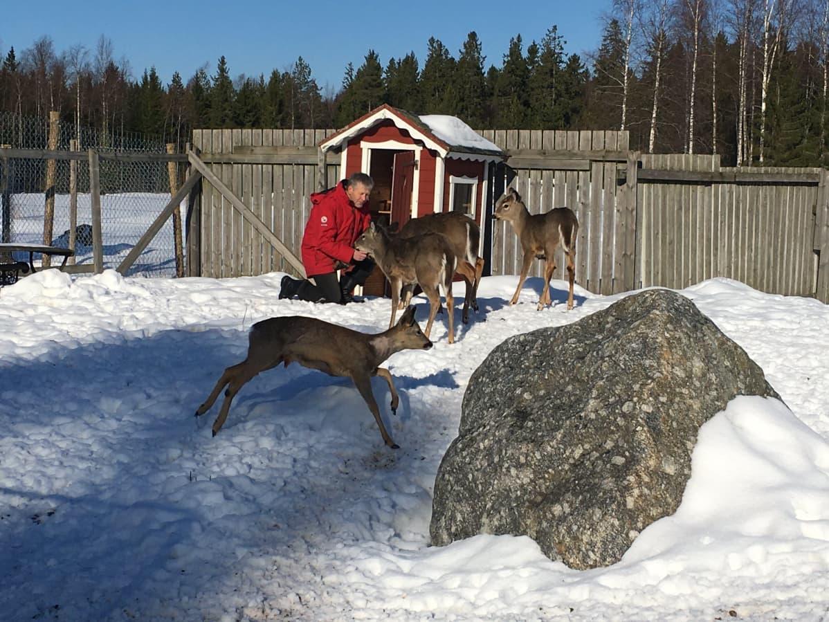 Markku Harju ja valkohäntäpeurojen ja metsäkauriin seurassa