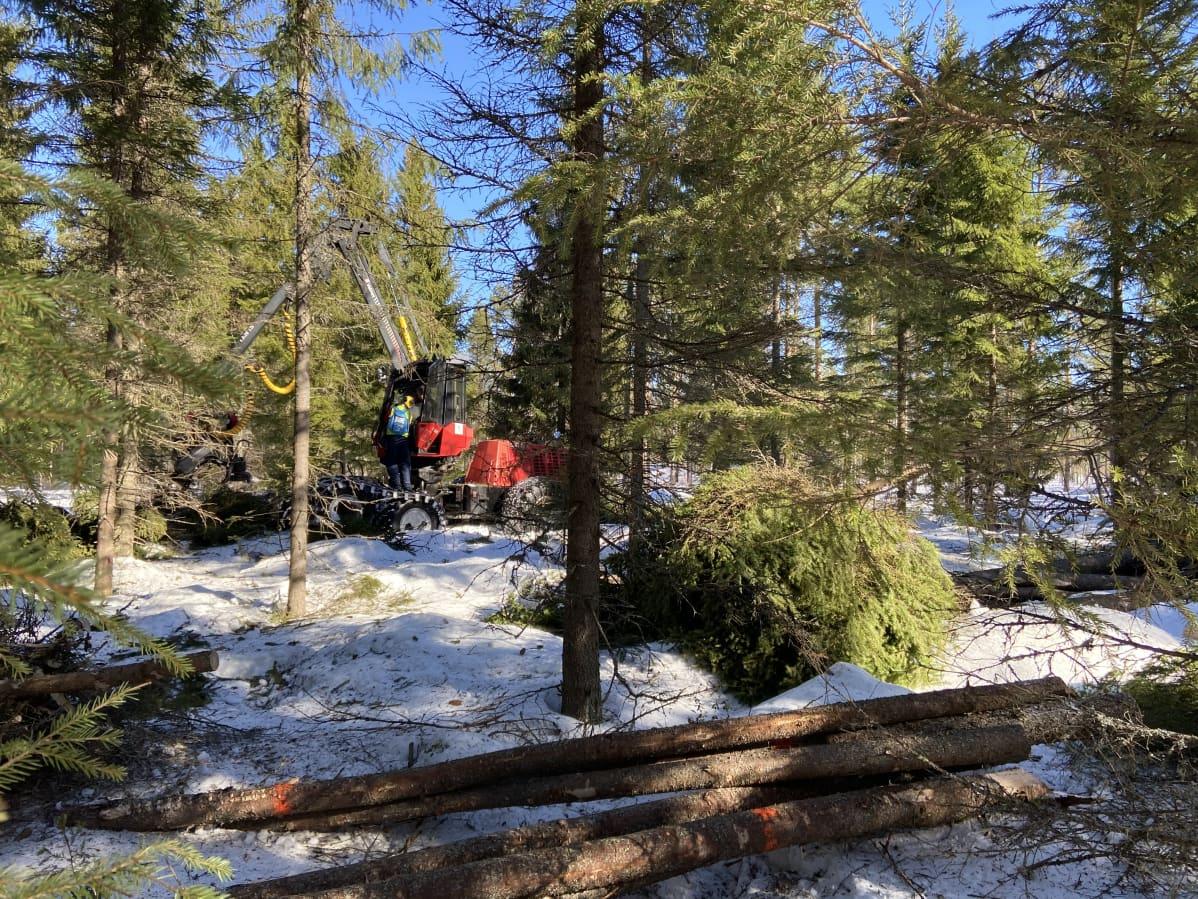 Metsäkone katkoo ja pilkkoo puita metsässä.