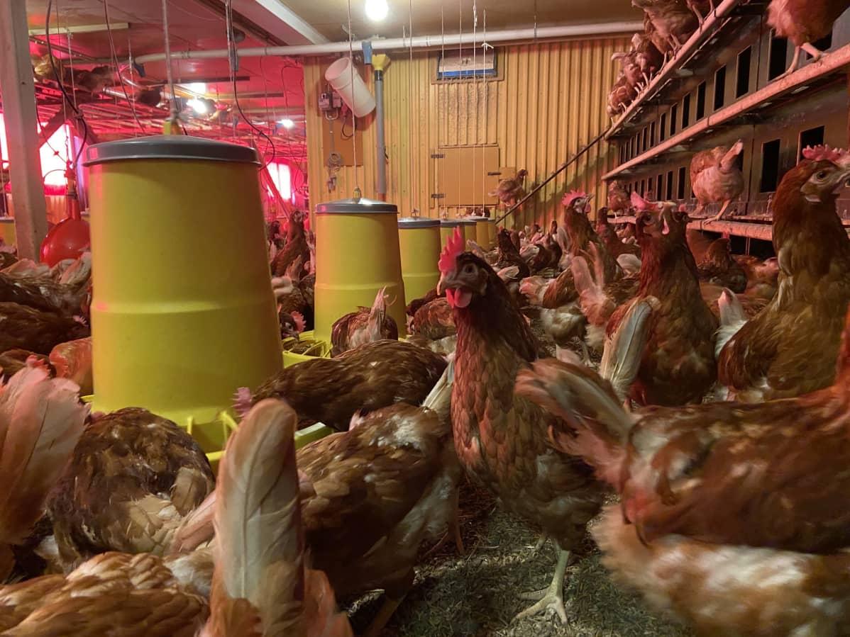 Aittolahden kanalassa kanat liikkuvat lattialla vapaasti.