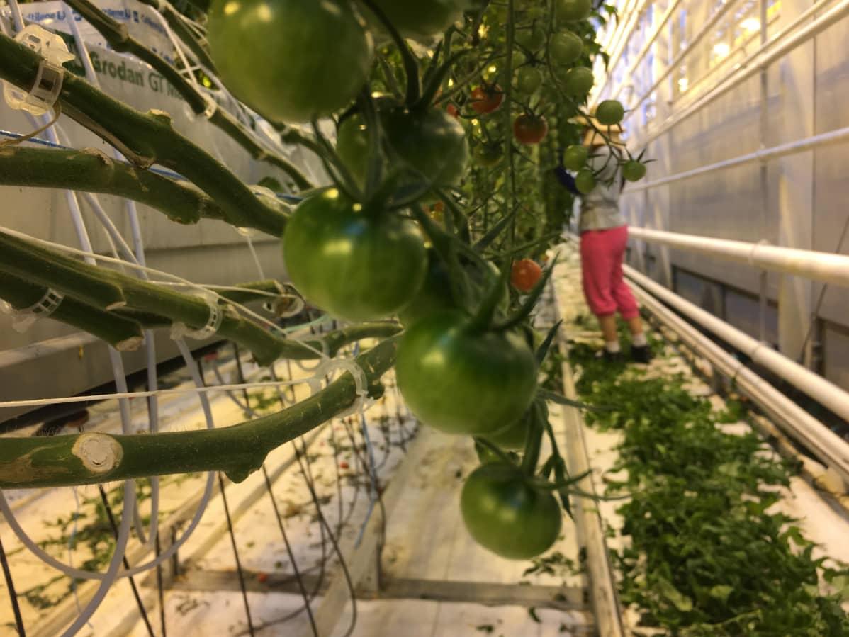Tomaatinviljelyä Närpiössä