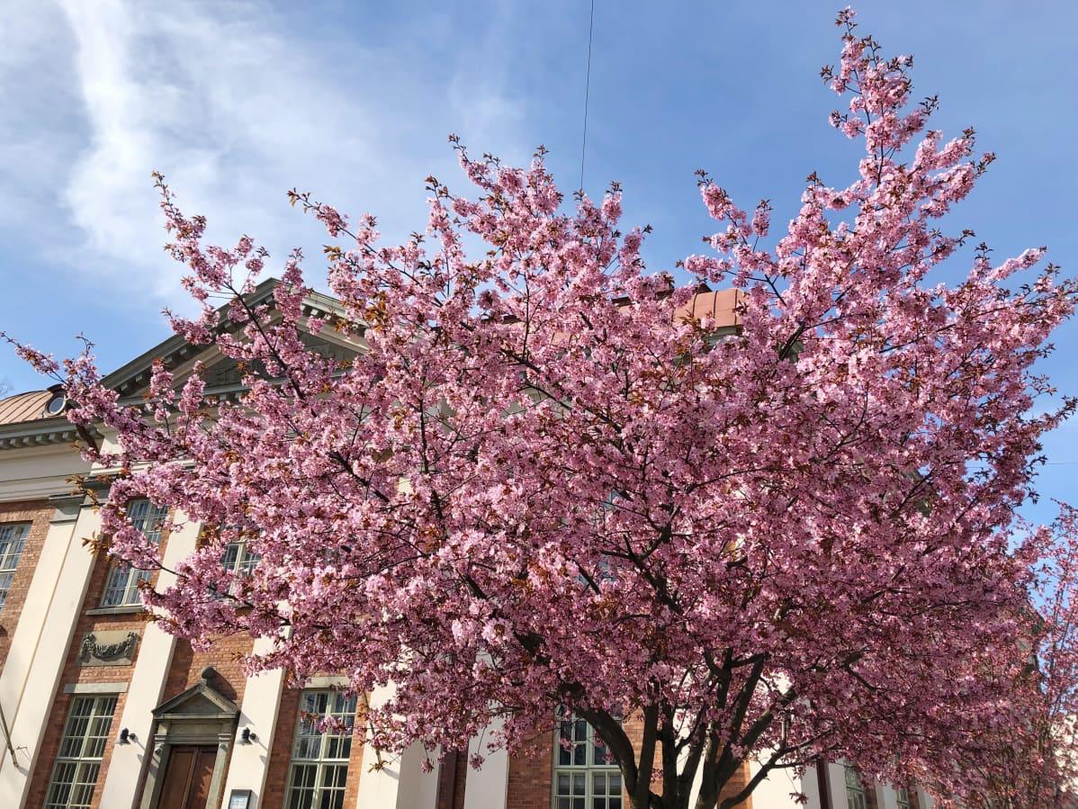 Kirsikkapuu kukkii Turun pääkirjaston edustalla