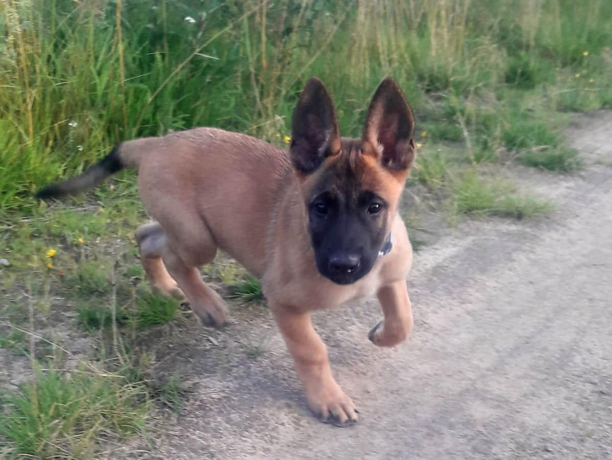 Jussi-koira