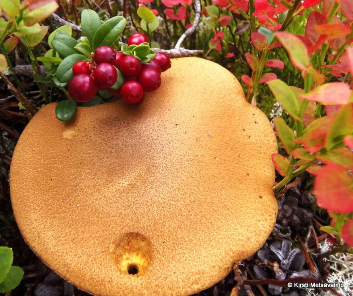 Puolukat ja iso sieni