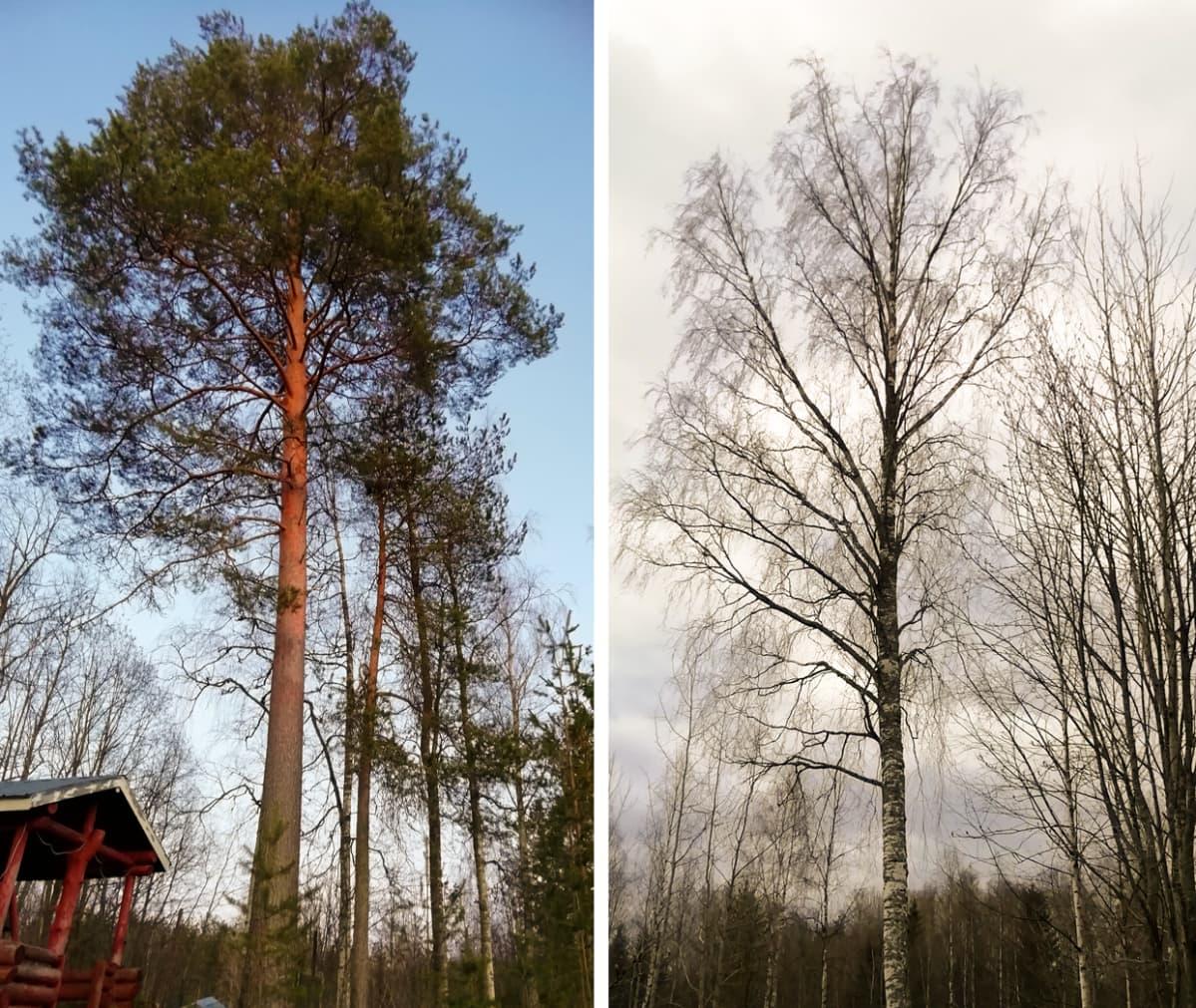 Suomen ihastuttavin puu -finalisti, Masa-mänty.