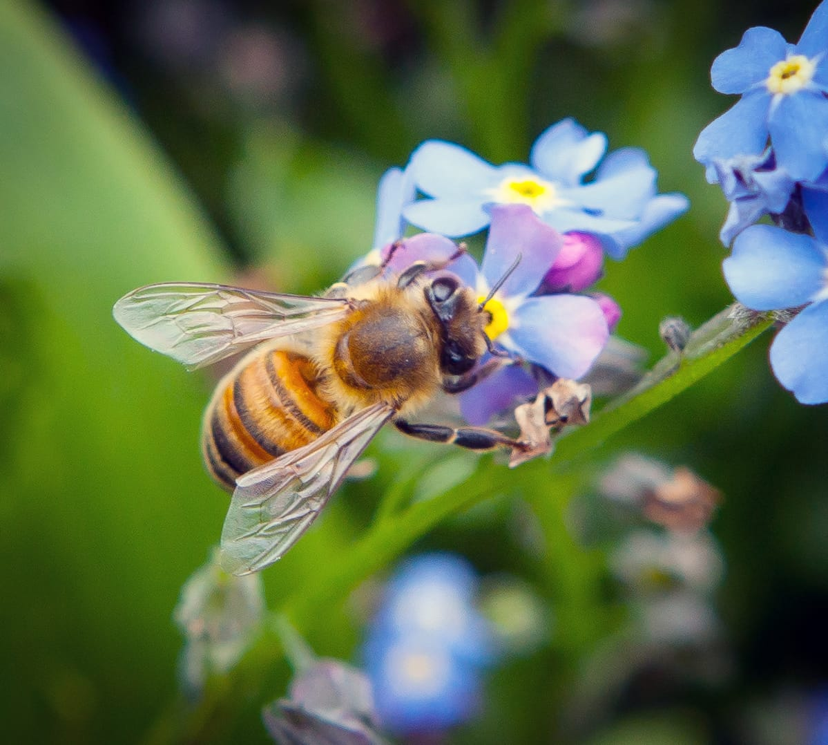 Baijerin mehiläiset.