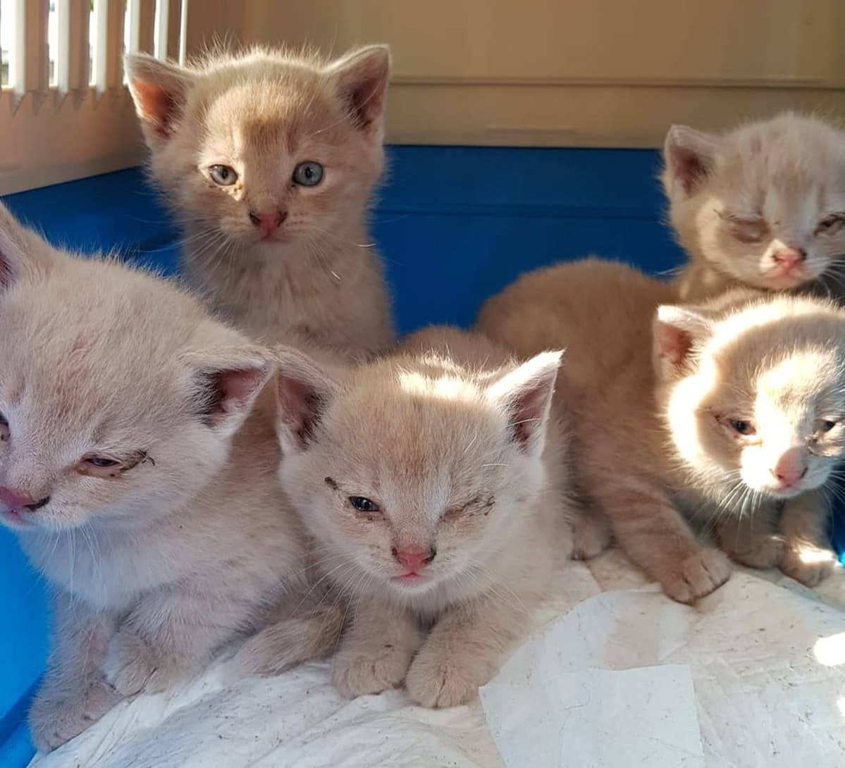 puolisokeita kissanpentuja