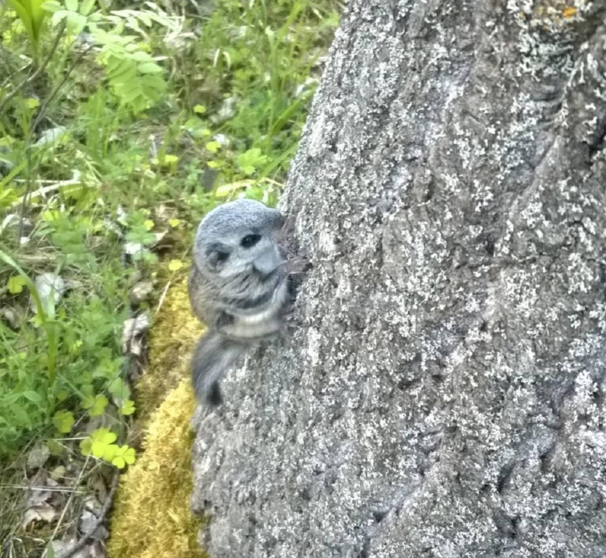 Kuvassa eksynyt liito-orava puunrunkoa pitkin kiipeämässä