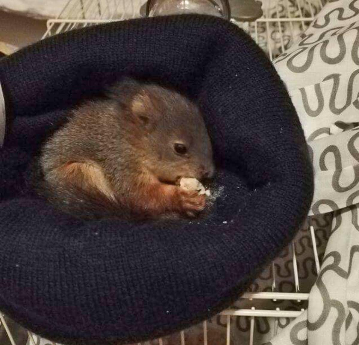 Oravan poikanen syö myssyssä.