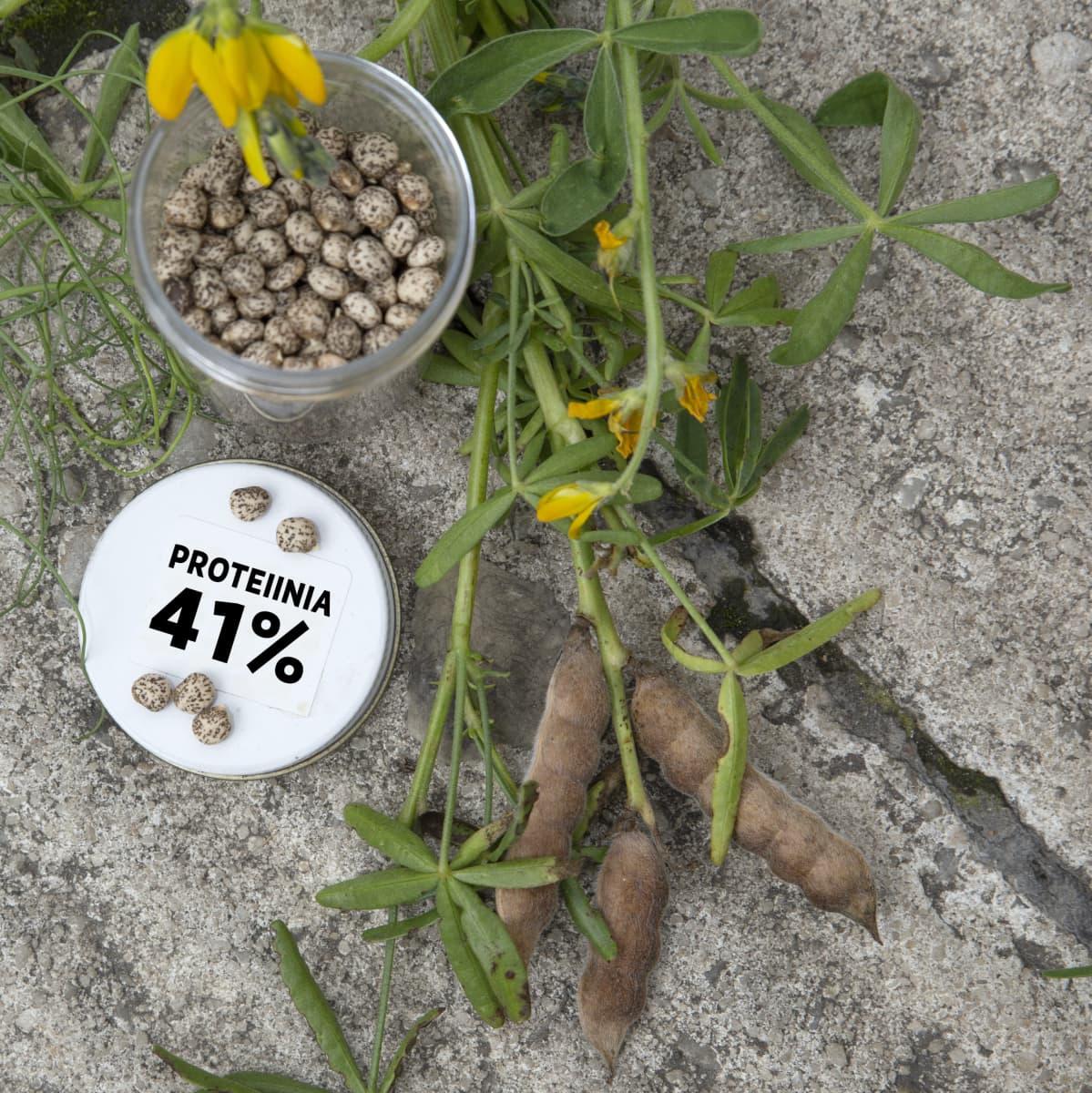 Keltalupiinin siemeniä ja kyltti: proteiinia 41%.