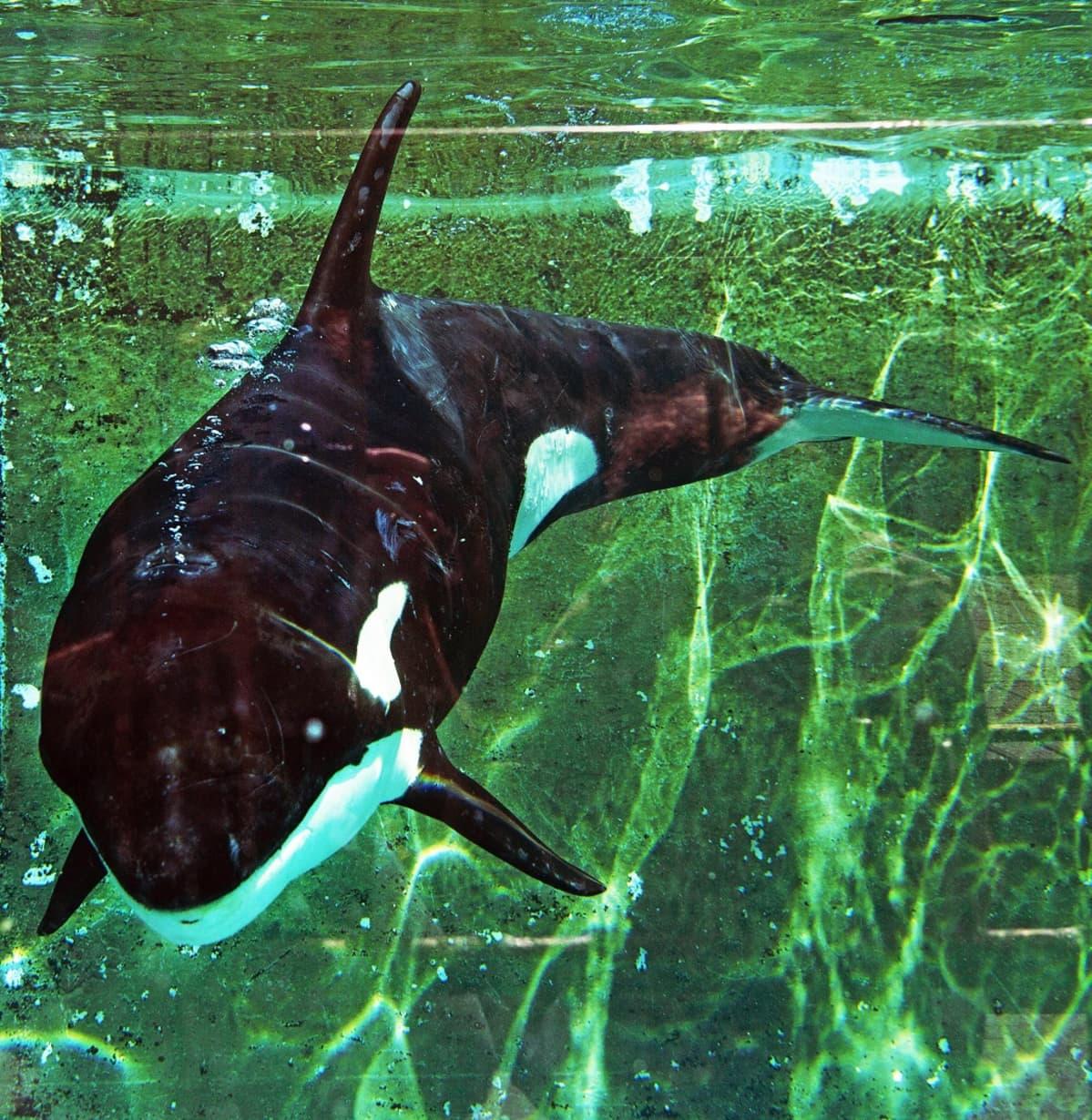 Miekkavalas vihreässä vedessä