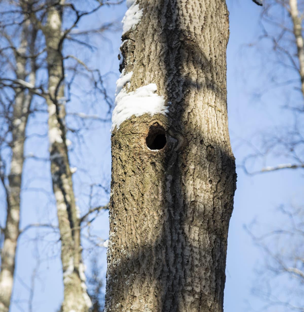 Kolo puussa.
