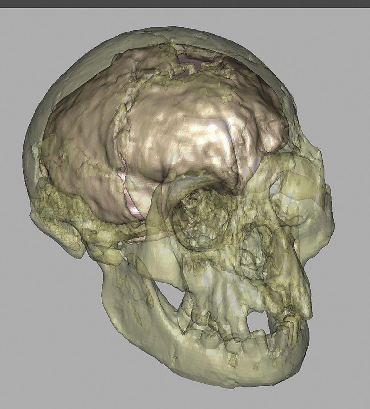 Tietokonemalli Homo floresiensiksen kallosta.