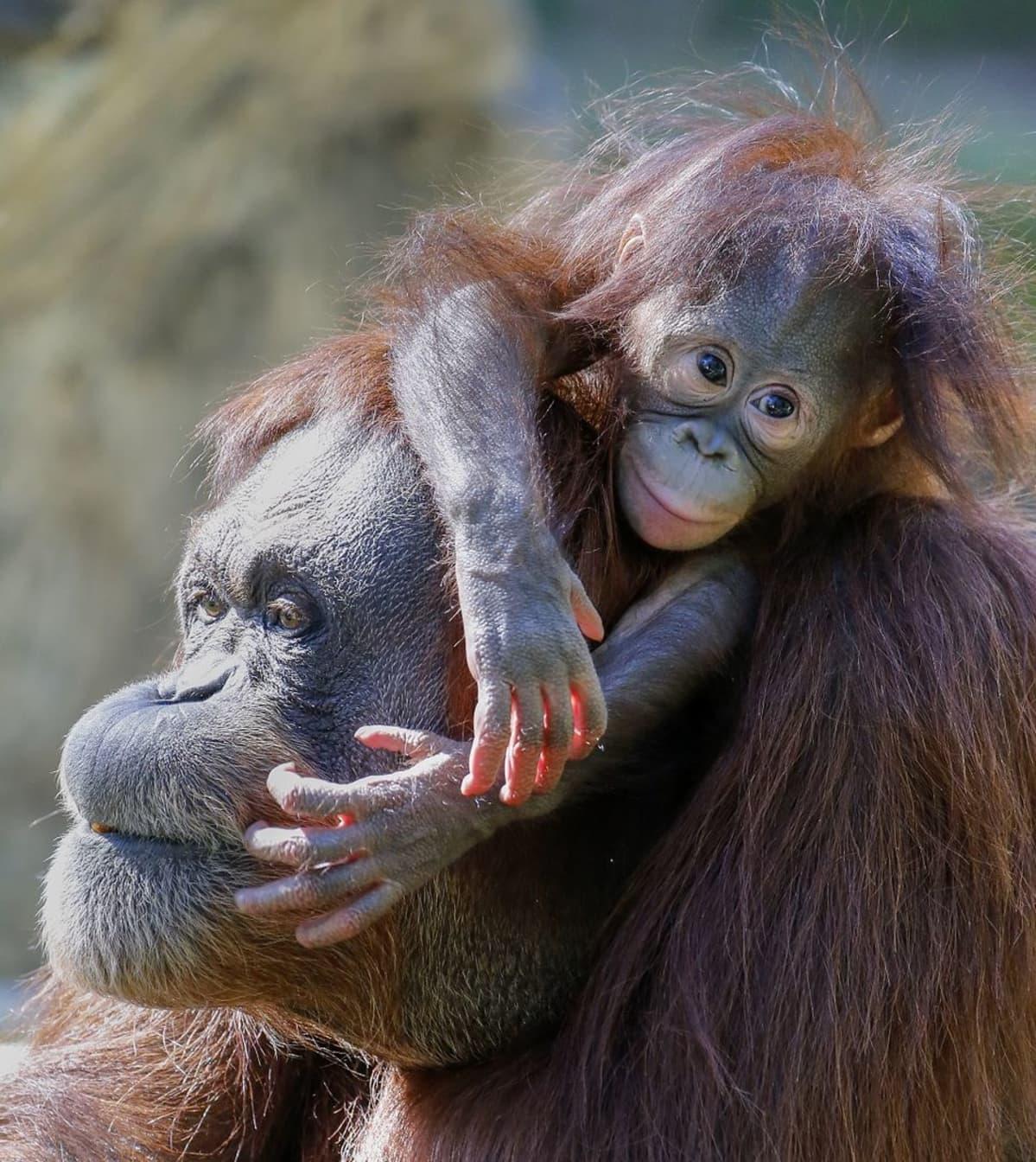 Oranginpoikanen aikuisen eläimen selässä.