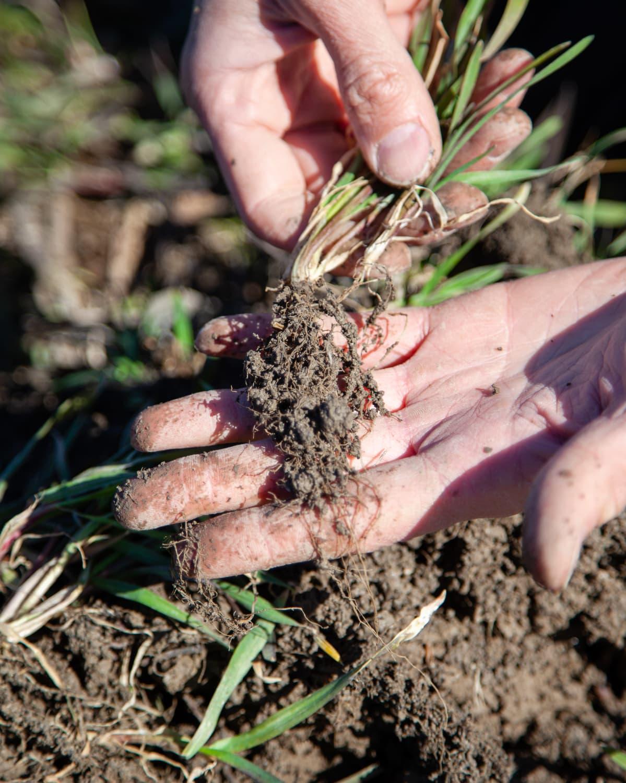 Luomuviljelijä Juuso Joona esittelee hyviä rukiin juuria.